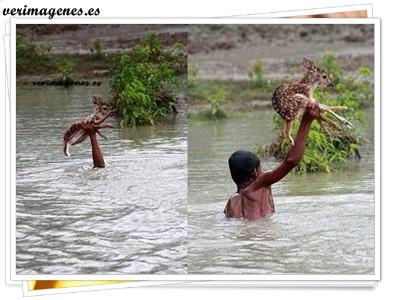 Niño salva un ciervo bebé en Bangladesh.