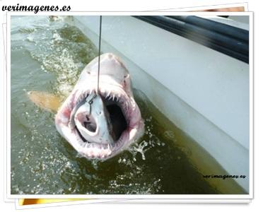 Descubren un tiburón dentro de un tiburón toro