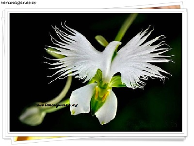 Imagen Orquídea Garceta (Habenaria radiata)