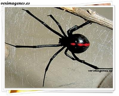 La Araña Viuda Negra