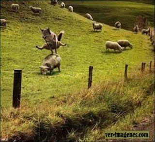 Perro y oveja