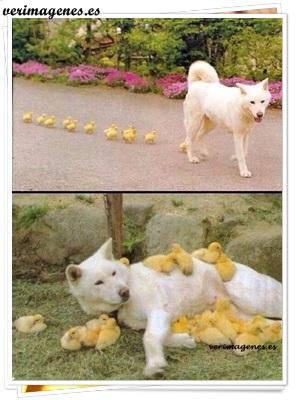 Perro adopta familia pollitos