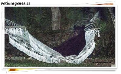 Un oso negro fue fotografiado mientras descansaba en la hamaca del patio de una casa