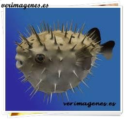 Pez erizo (diodon histryx)