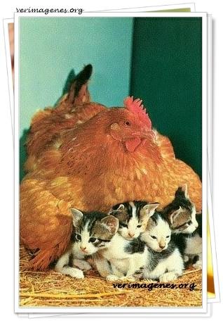 Gallina empollando a sus pollitos