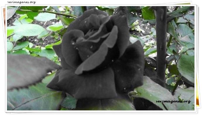 Imagen Rosas Negras