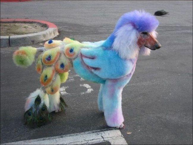 Perro convertido en pavo real